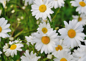 daisy flower spring - pricing for mindfulness retreat
